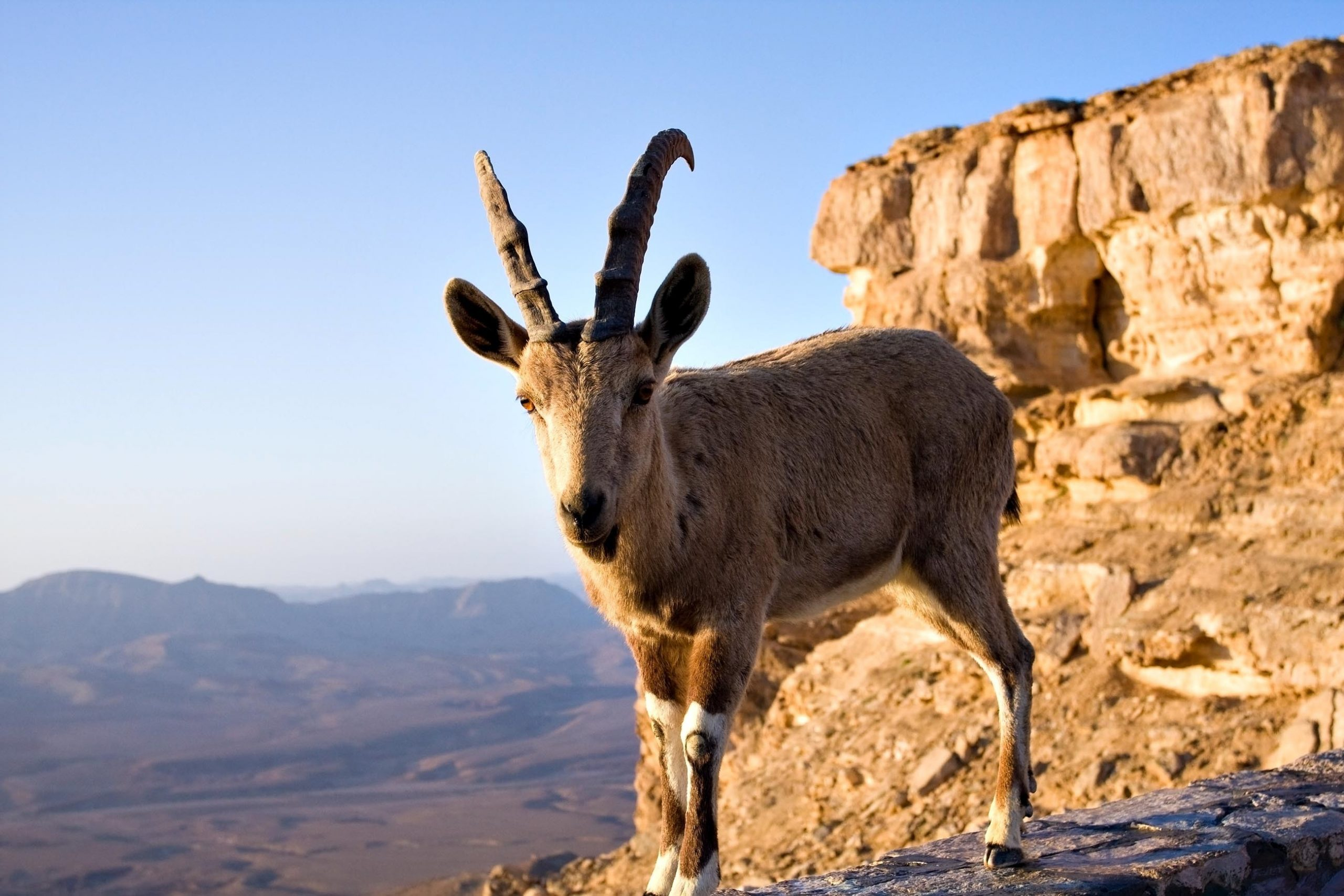 Ibex In The Ein Gedi Nature Reserve On Masada, Ein Gedi, Dead Sea Tour