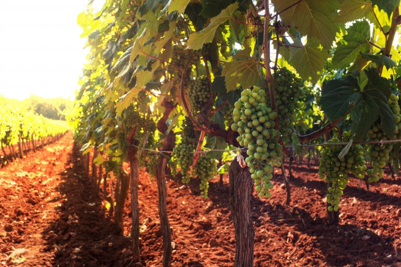 Istrian Vineyard During The Truffle Hunt Tour