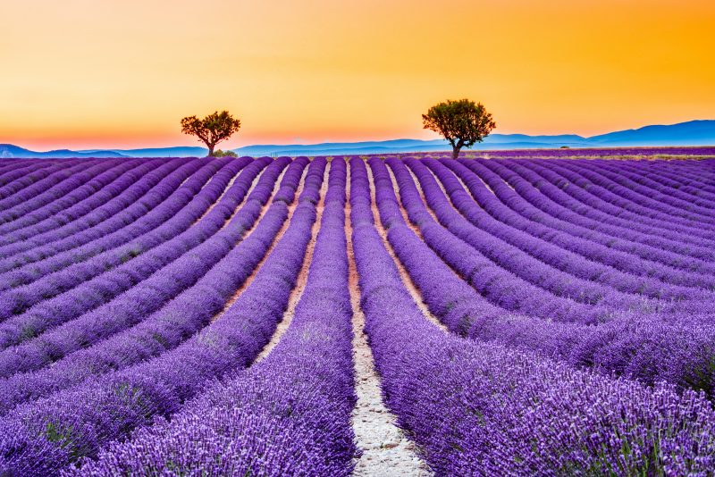 Lavendar Fields Of Provence