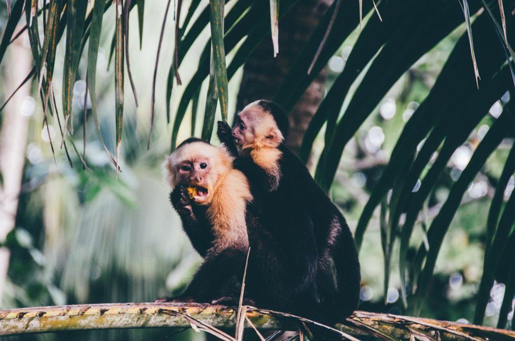 Central American Monkeys