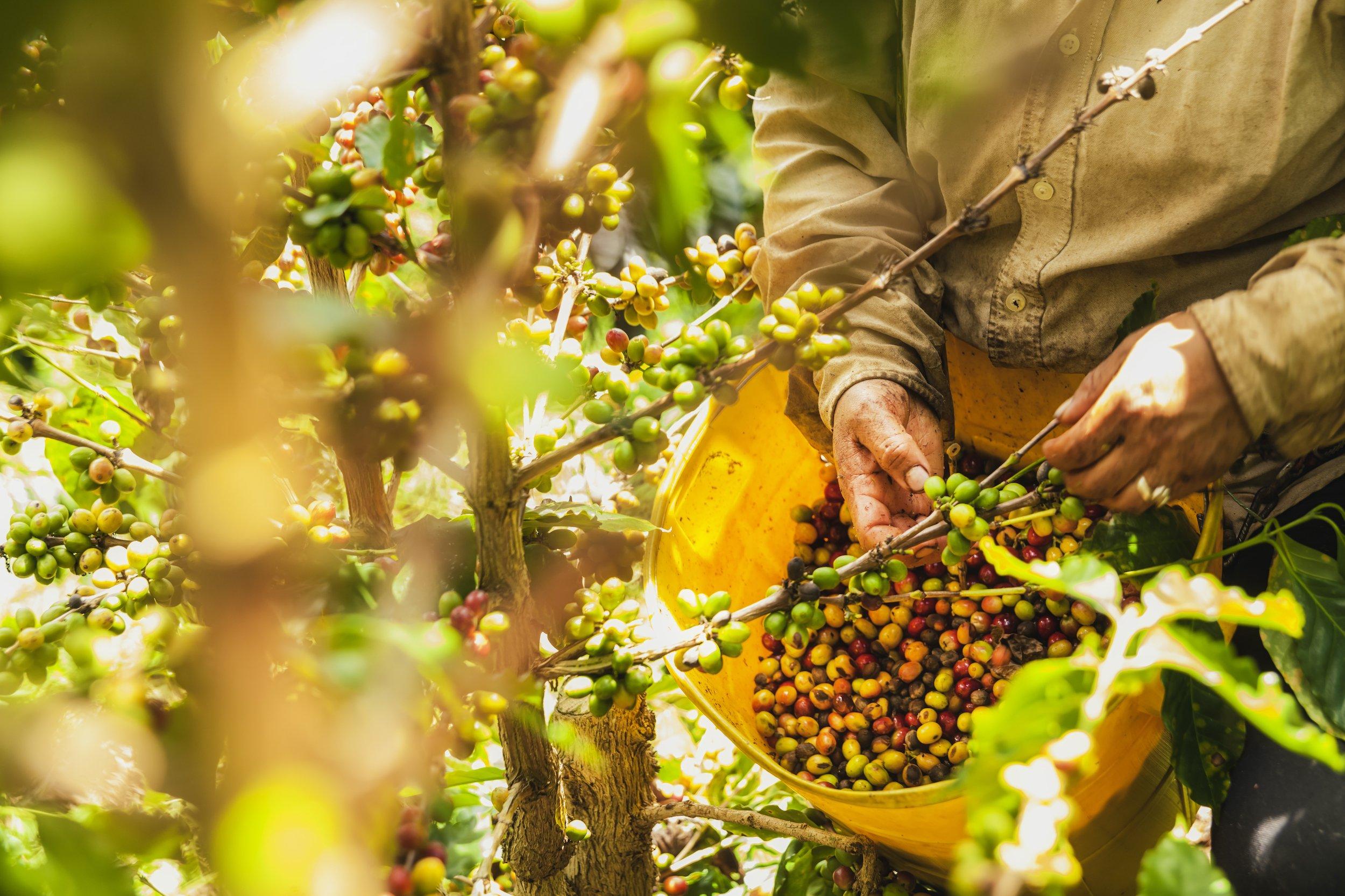 Coffee Culture In Costa Rica