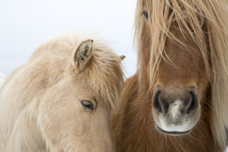 Learn About The Famous Icelandic Horses On The Golden Circle Small Group Tour