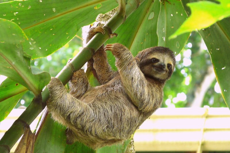 Learn About Sloths From Your Expert Guide On The Sloth Experience And Hot Springs At Arenal Volcano