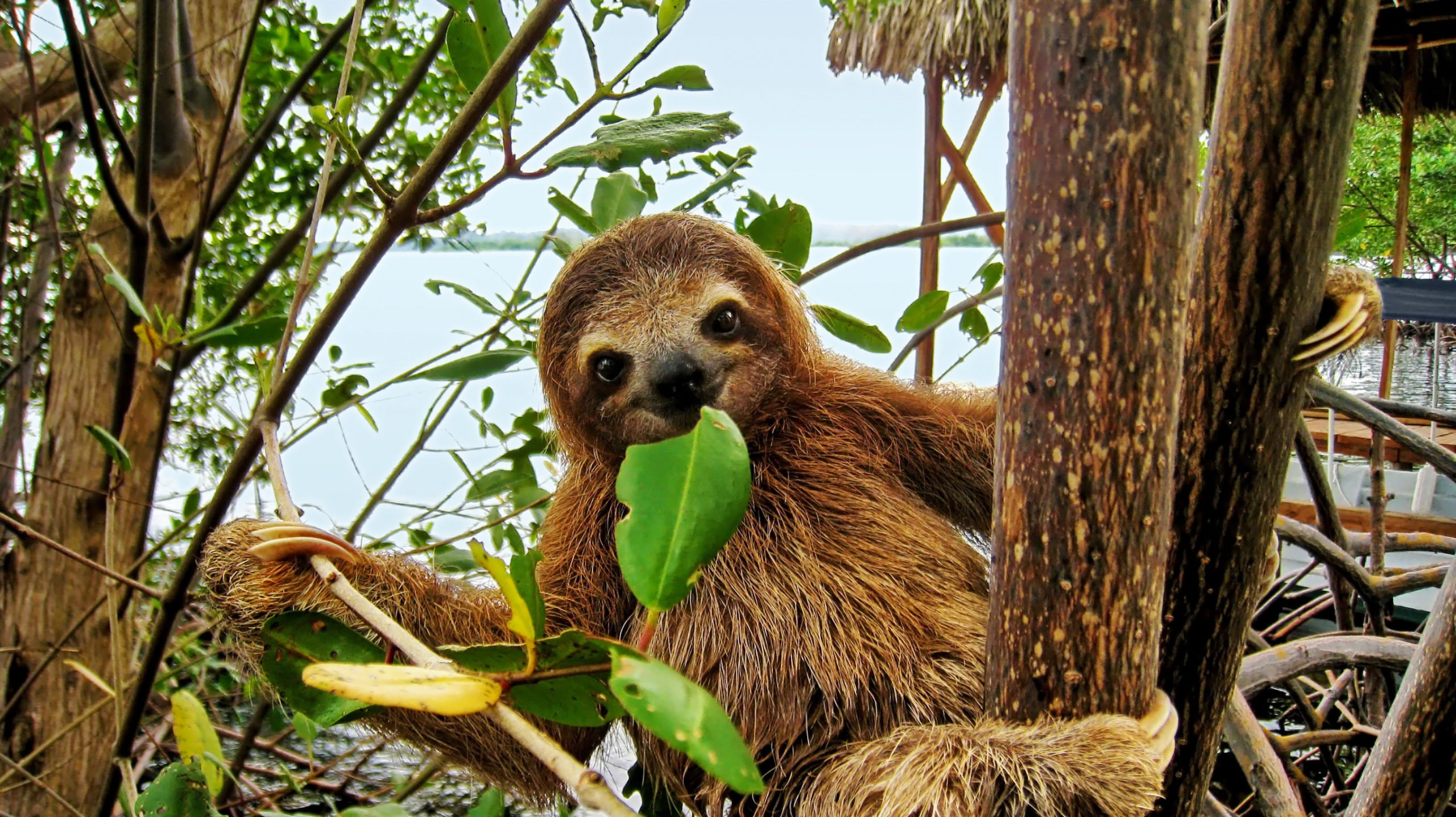 Observe The Cute Sloth In Reality And Dont Miss To Take A Picture On The Sloth Experience And Hot Springs At Arenal Volcano