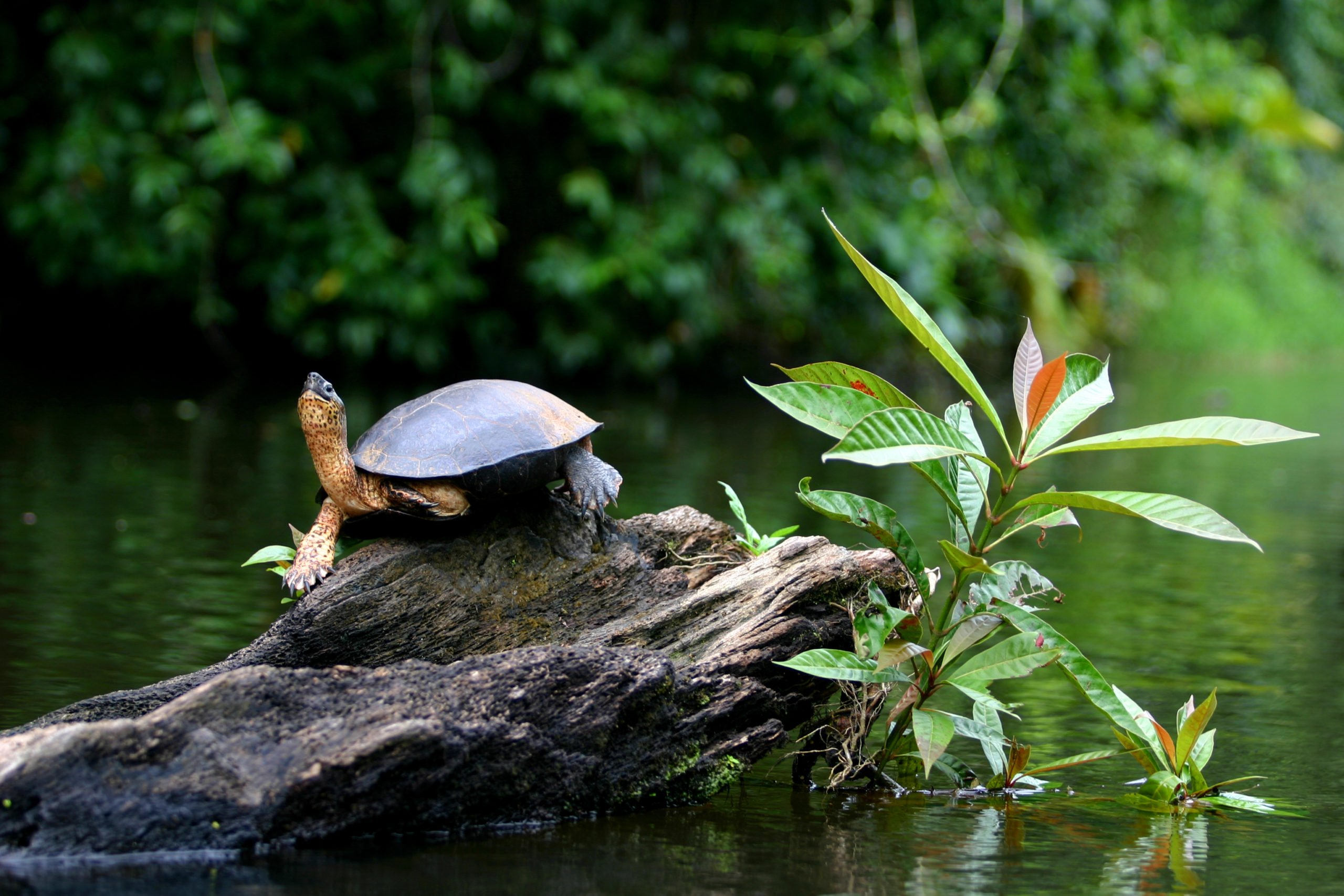 Spot The Turtles In Tortuguero National Park On The Tortuguero, Arenal & Manuel Antonio 10 Day Adventure Package Tour