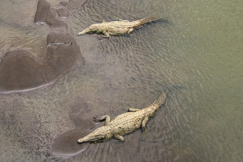 Stop On Your Way To Manuel Antonio To Observe The Crocodiles At The Tarcoles River Duirng The Highlights Of Costa Rica 9 Day Package Tour - Arenal - Monteverde- Manuel Antonio