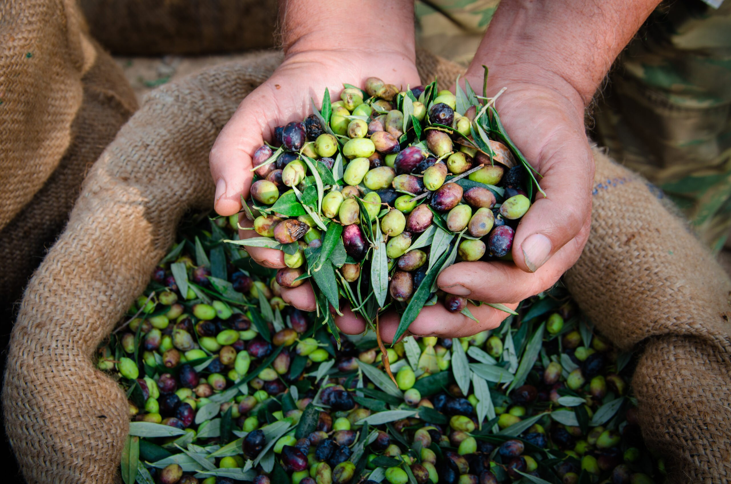 Experience The Process Of Harvesting Olives On The Olive Oil Tasting & Carmona Village Tour From Seville