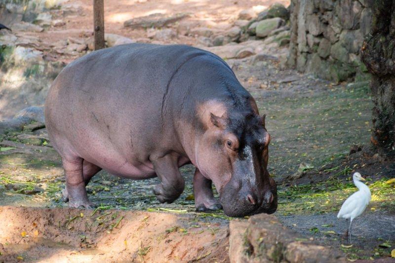 Hipopotam At Our Wildlife Tour In Chennai