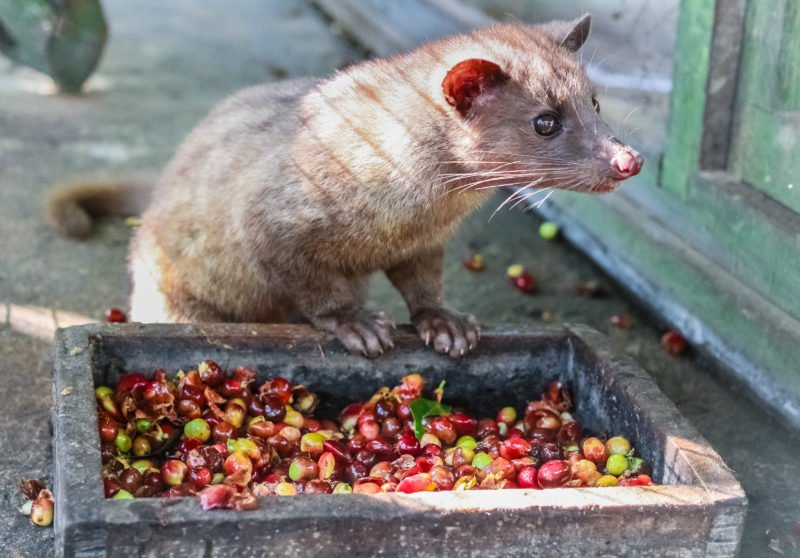 Luwak Eating Coffee Beans