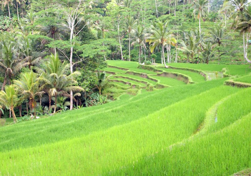 See The Beautiful Rice Terraces Near The Gunung Kawi Temple On The Bali Culture Tour