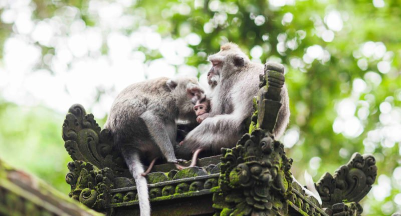 Visit The Monkeys Living In The Ubud Monkey Forest On The Ubud Village Tour