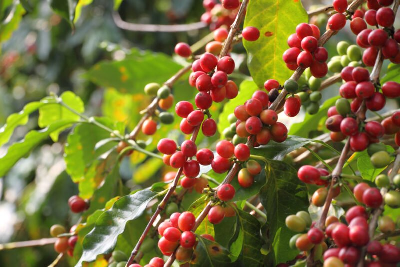 Wander Ove The Coffee Planation During The Northern Bali Experience