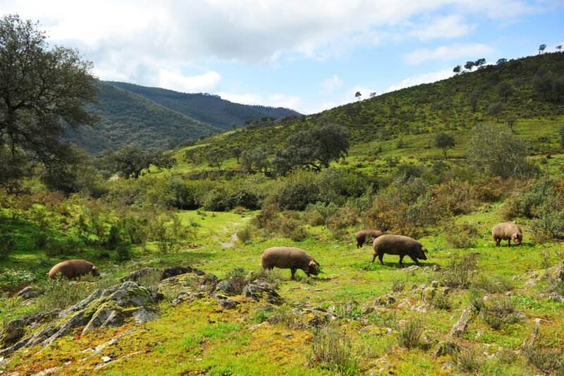You Will Visit The Place Where The Iberian Pgs Are Grown On The Iberian Ham Tasting And Aracena Cave Tour From Seville