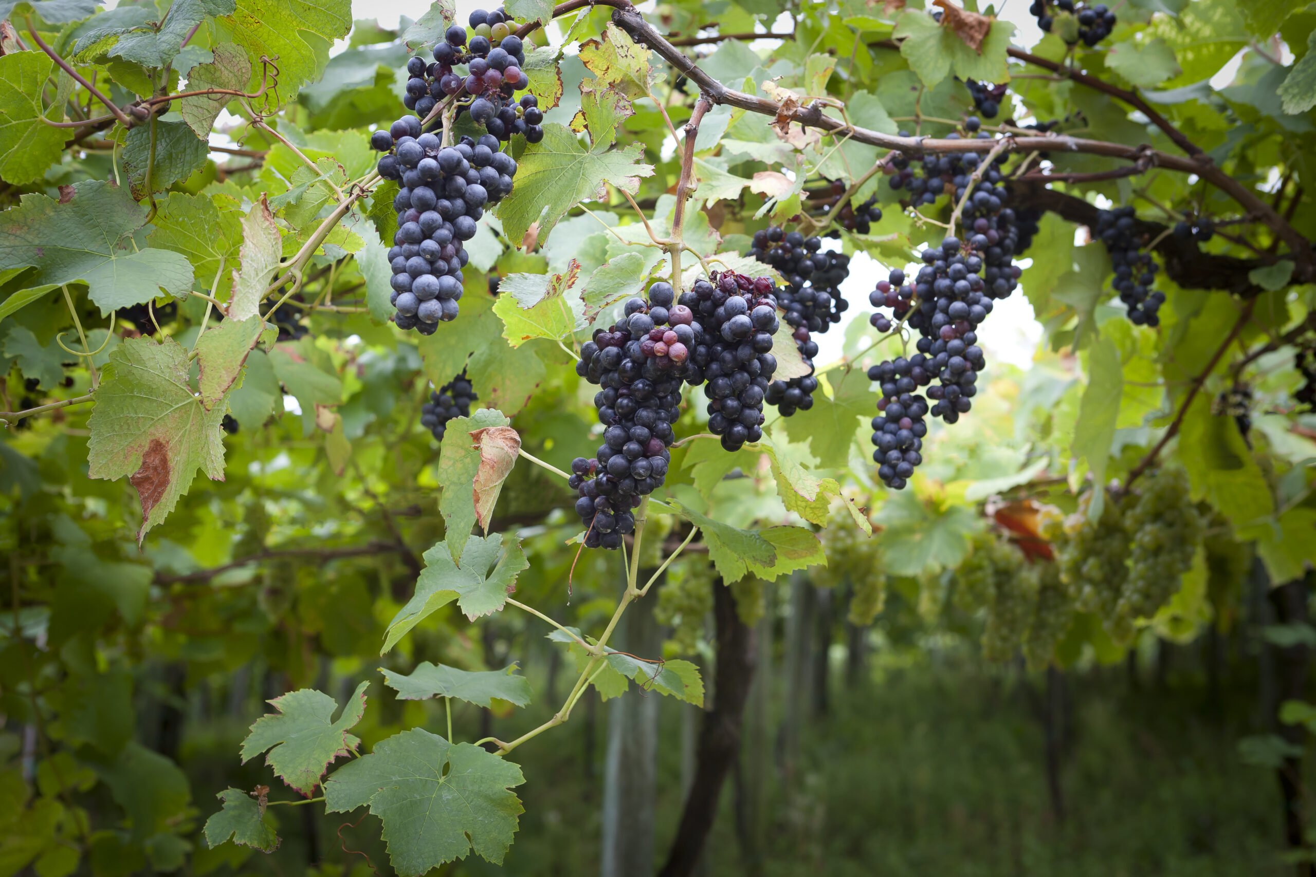 See The Grapes On The Vineyards On The Txakoli Wine Tasting Tour From Bilbao