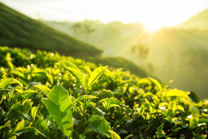 Green Tea Bud And Fresh Leaves In Our 5 Day Ecology & Culture Tour Of Munnar