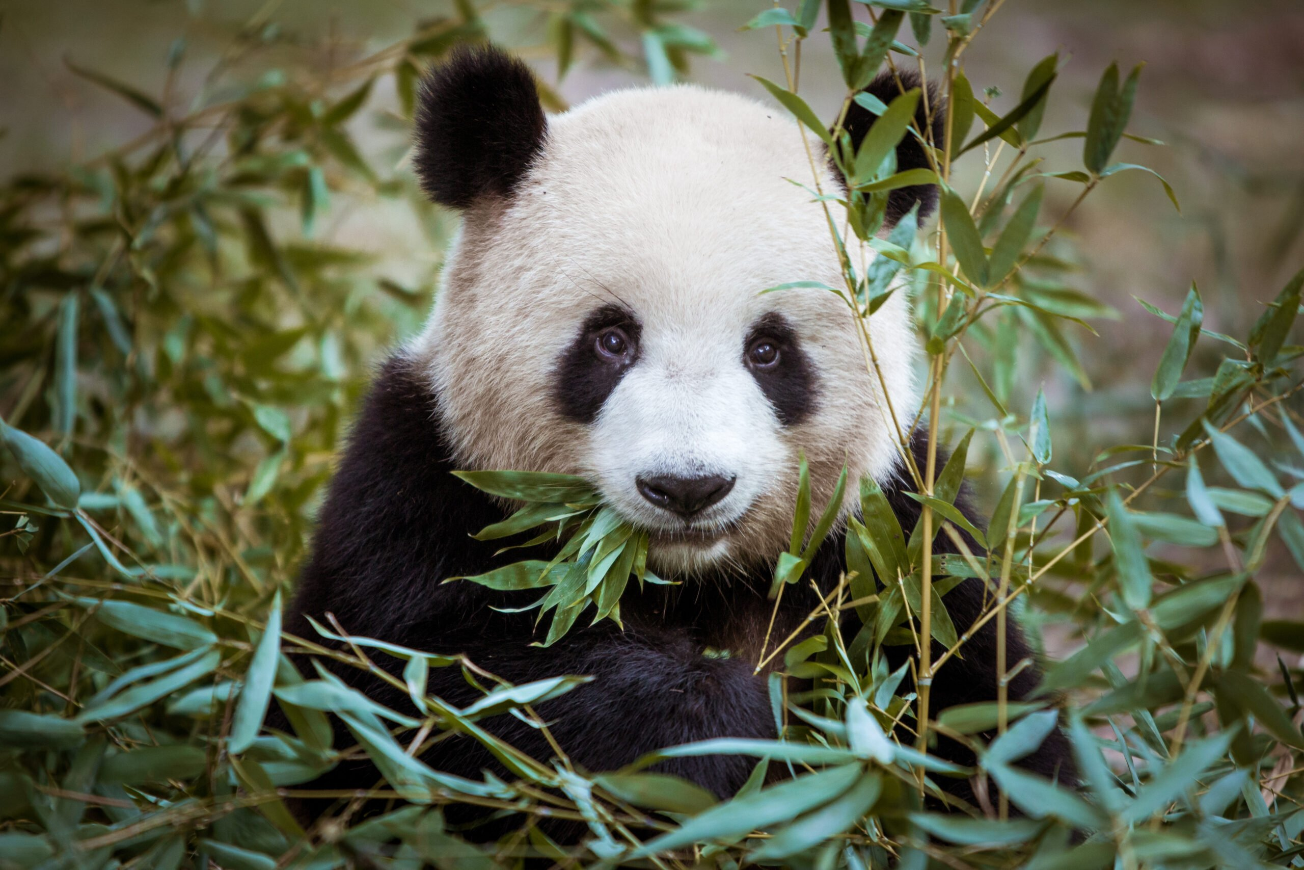 Learn About The Importance Of Panda Bears In The Chinese Culture In Our China Private Impression 14 Day Package