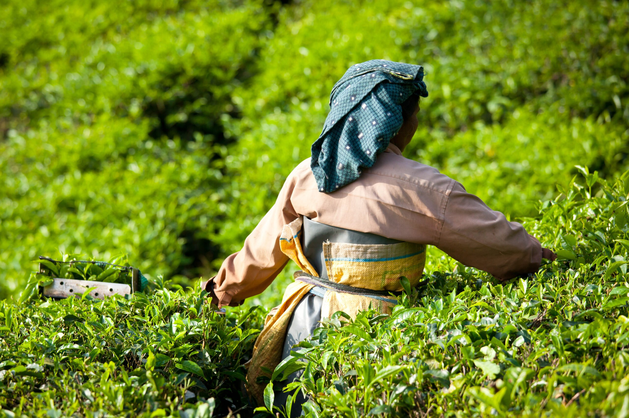 Learn About The Local Tea Culture In Our 5 Day Ecology & Culture Tour Of Munnar