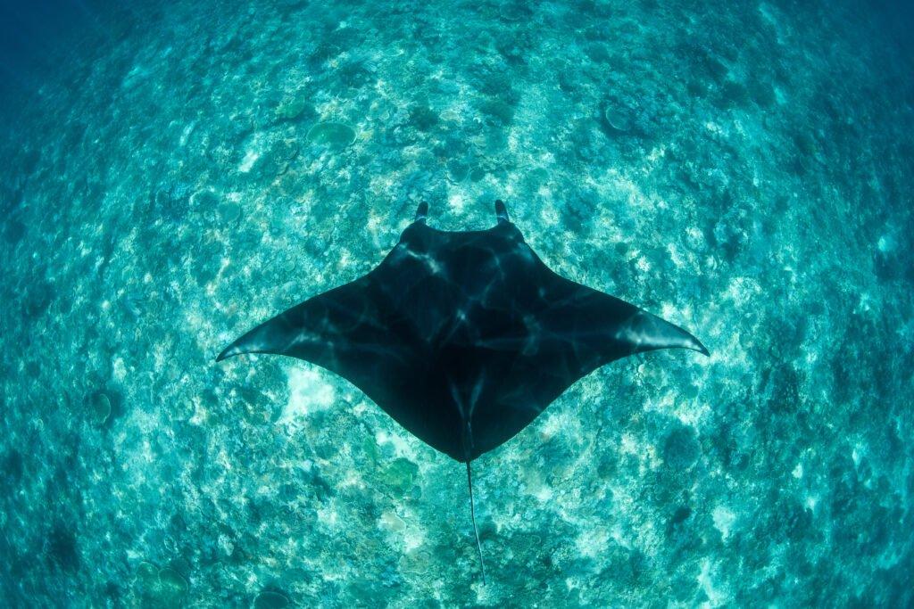 Swim with manta rays penida island