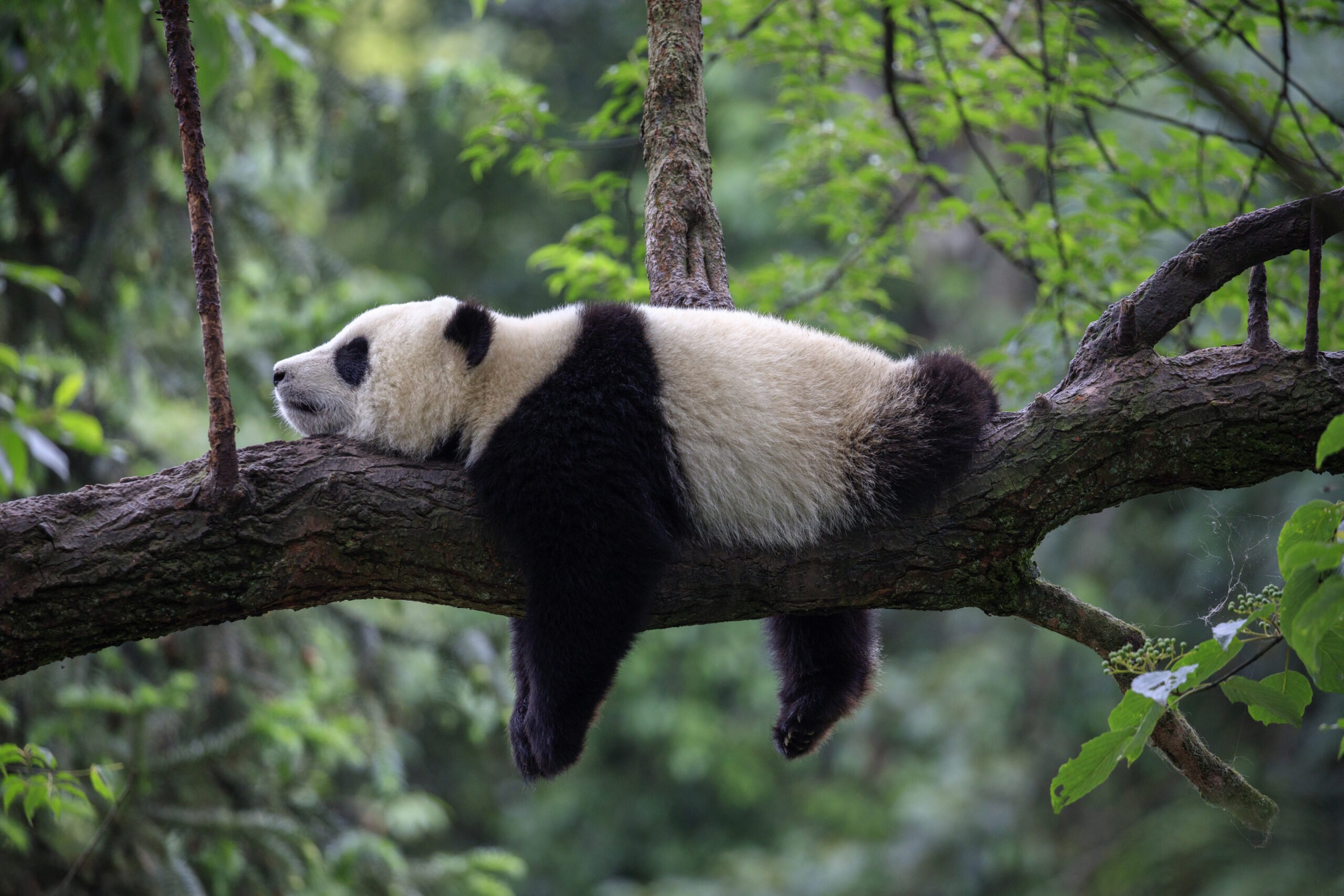 Visit Chengdu Panda Base In Our China Private Impression 14 Day Package