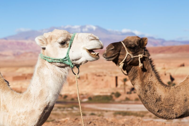 Add A Camel Experience To Your Atlas Mountain Tour From Marrakesh