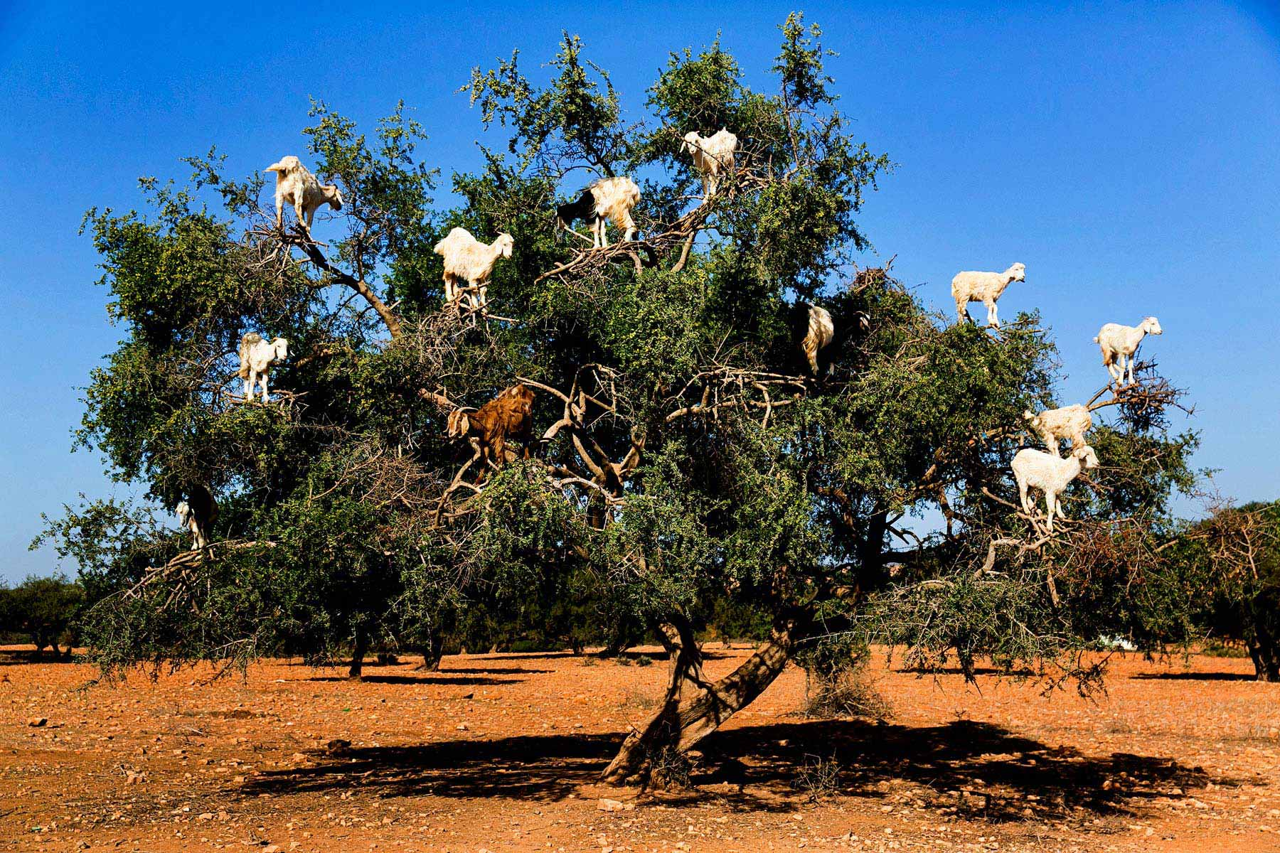 Maybe You Will Be Able To See The Goats On A Tree On The Essaouira Tour From Marrakesh_102