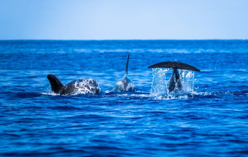 Join Our Whale And Dolphin Watching Tour From Ponta Delgada