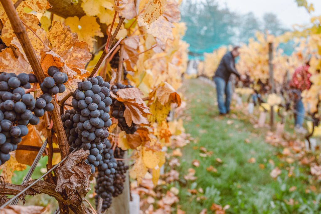Vineyard Wine Travel in Italy: An Insider Guide