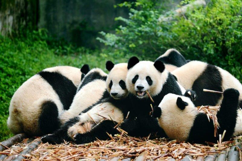 Chengdu Panda Base & Mount Qingcheng Tour 7