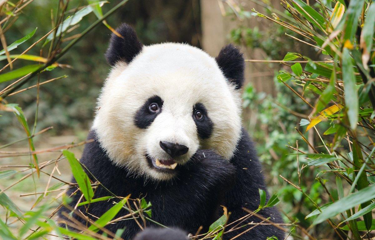 Chengdu Giant Panda Base Half Day Tour5