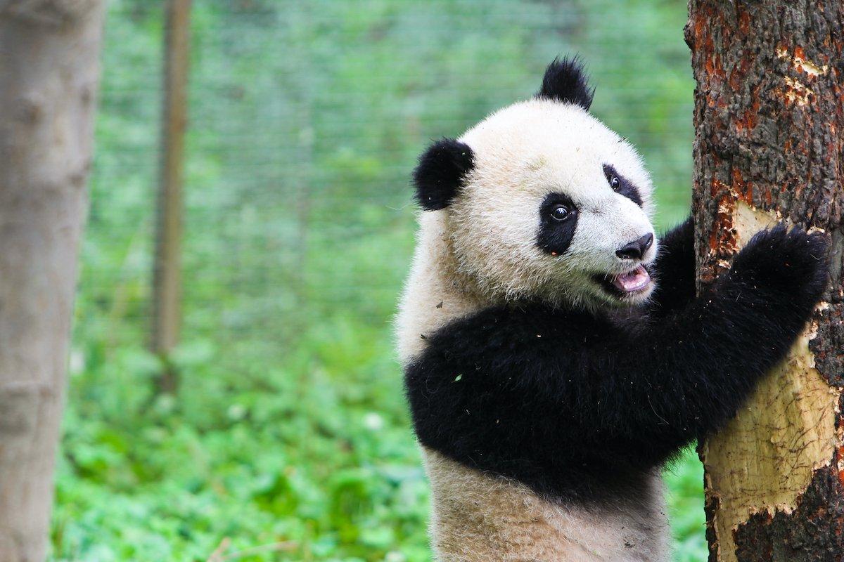 Chengdu Giant Panda Base Half Day Tour4