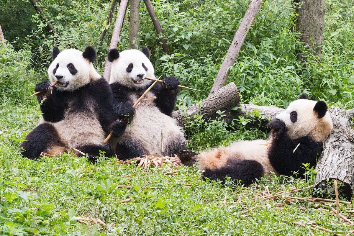 Chengdu Giant Panda Base Half Day Tour2
