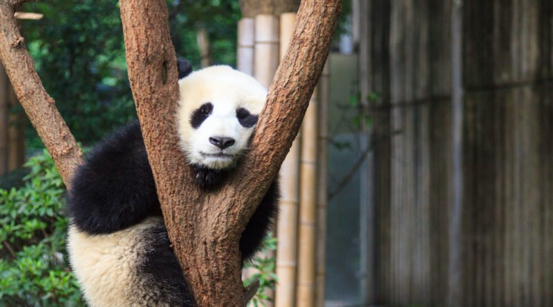 Chengdu Giant Panda Base Half Day Tour