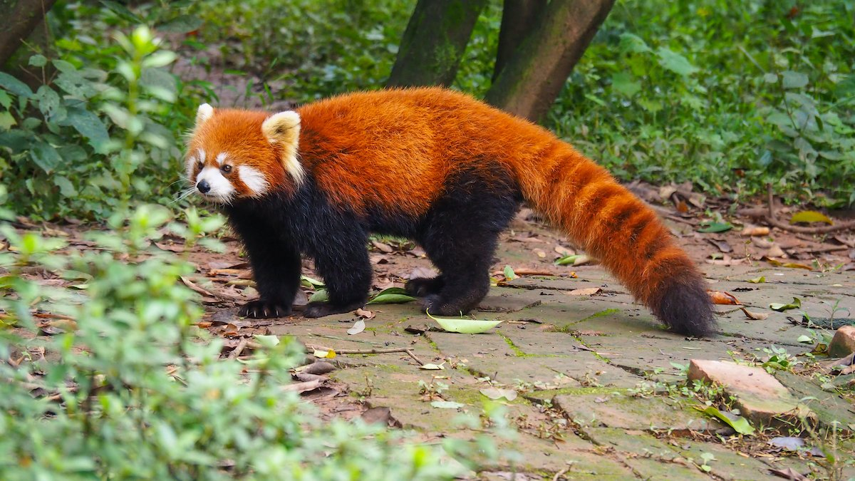 Chengdu Giant Panda Base Half Day Tour1