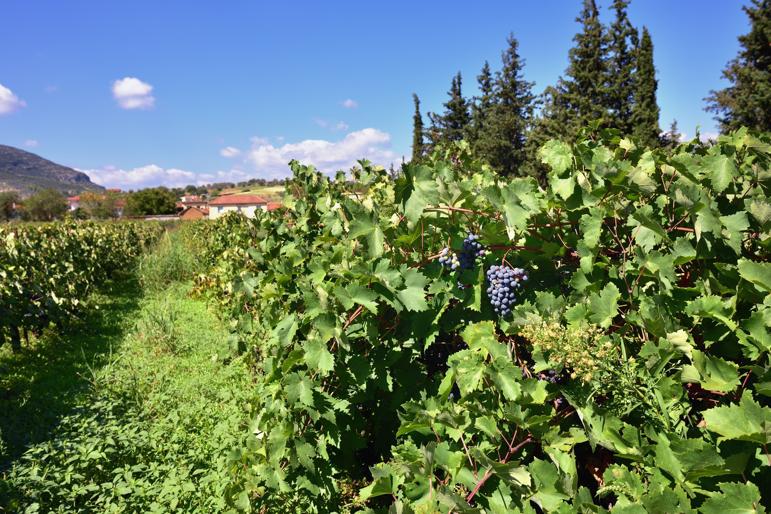 Nemea Winery & Vineyard Tour From Athens