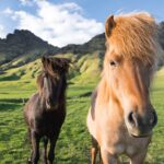 See Icelandic Horses On Our Golden Circle Stopover 3 Day Tour Package